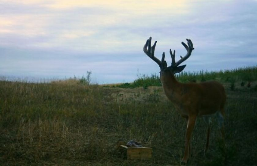 summer deer habitat