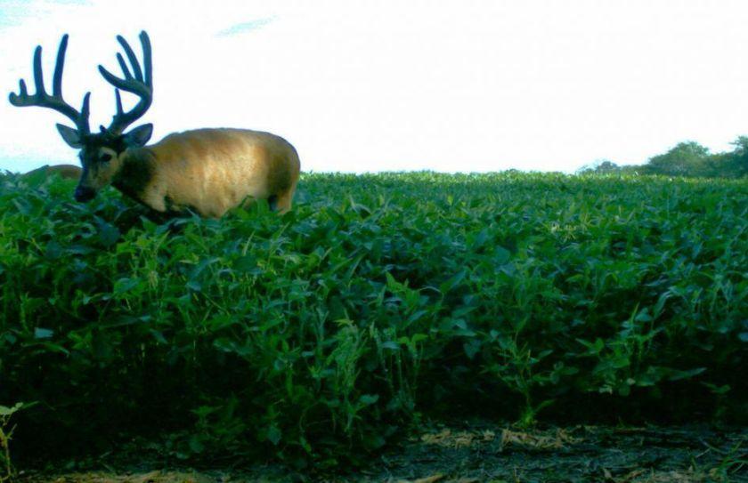 summer deer scouting
