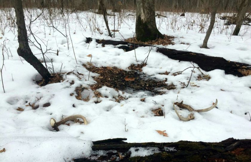 Winter whitetail scouting