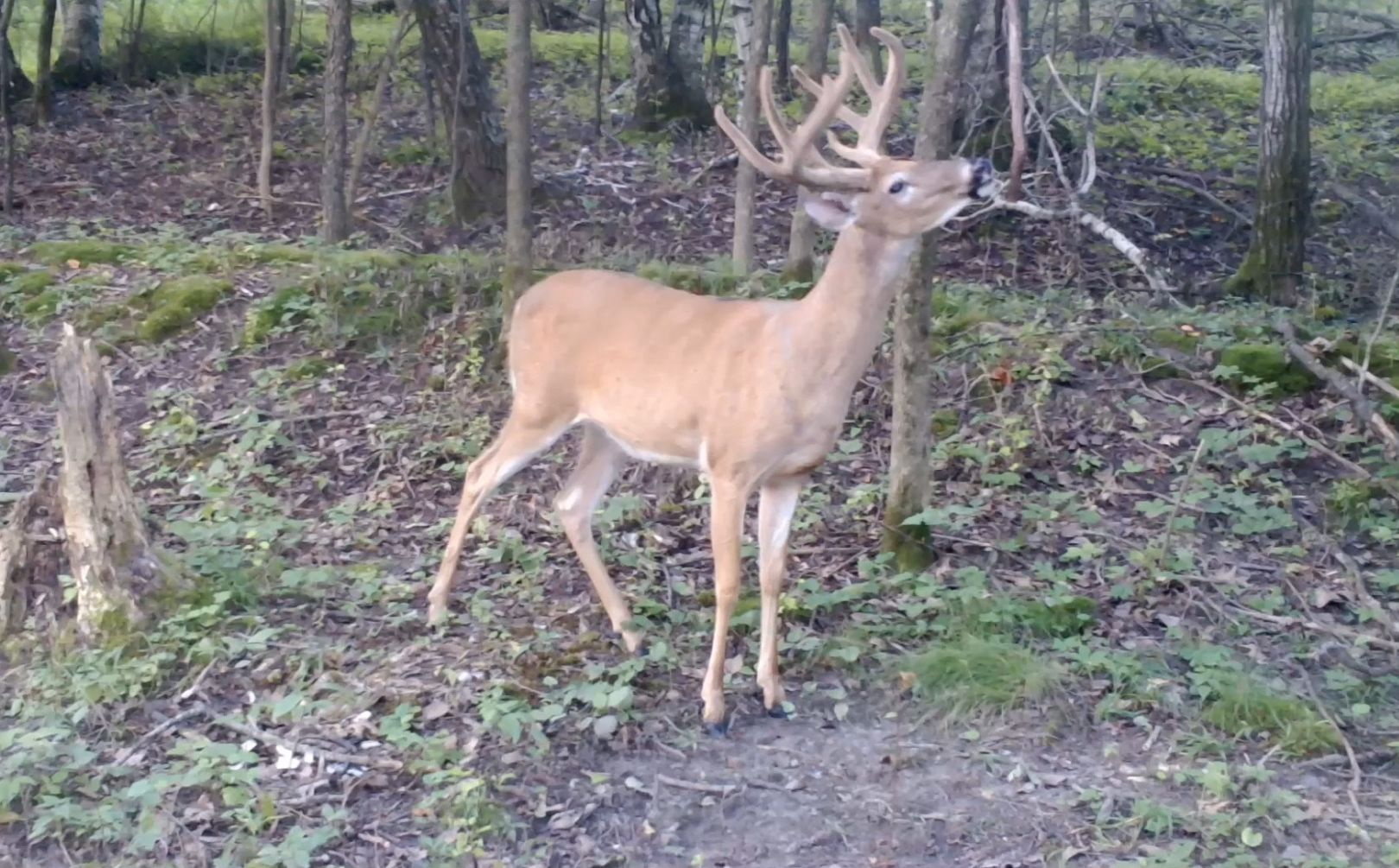 Whitetail Mock Scrapes