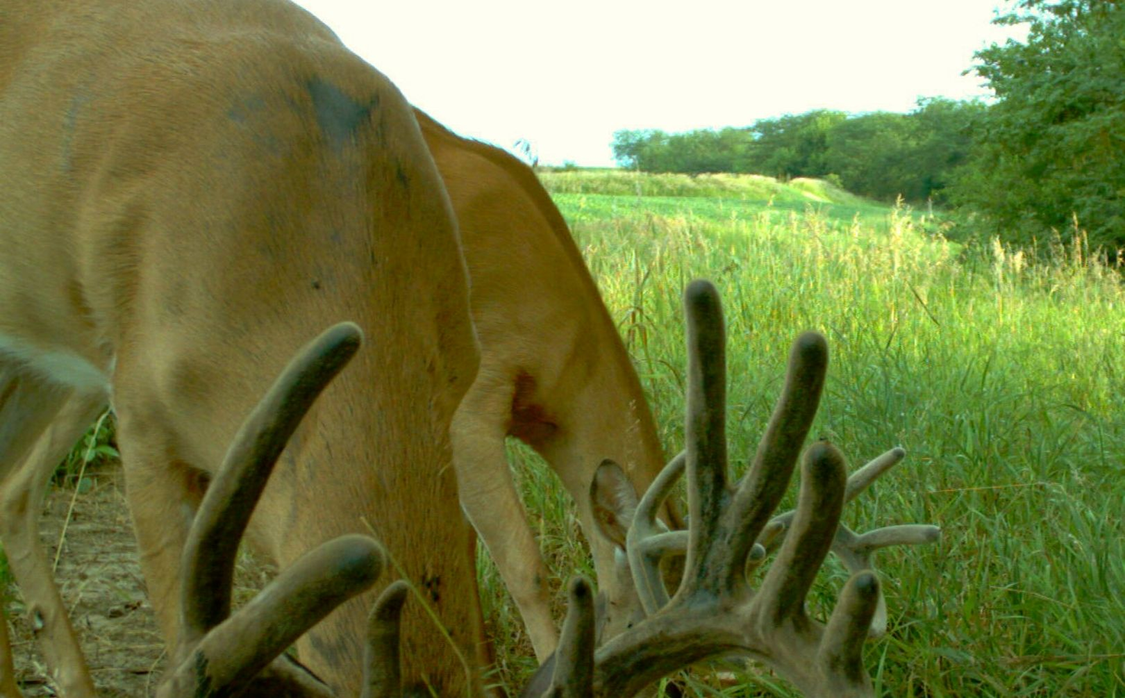Summer whitetail strategy