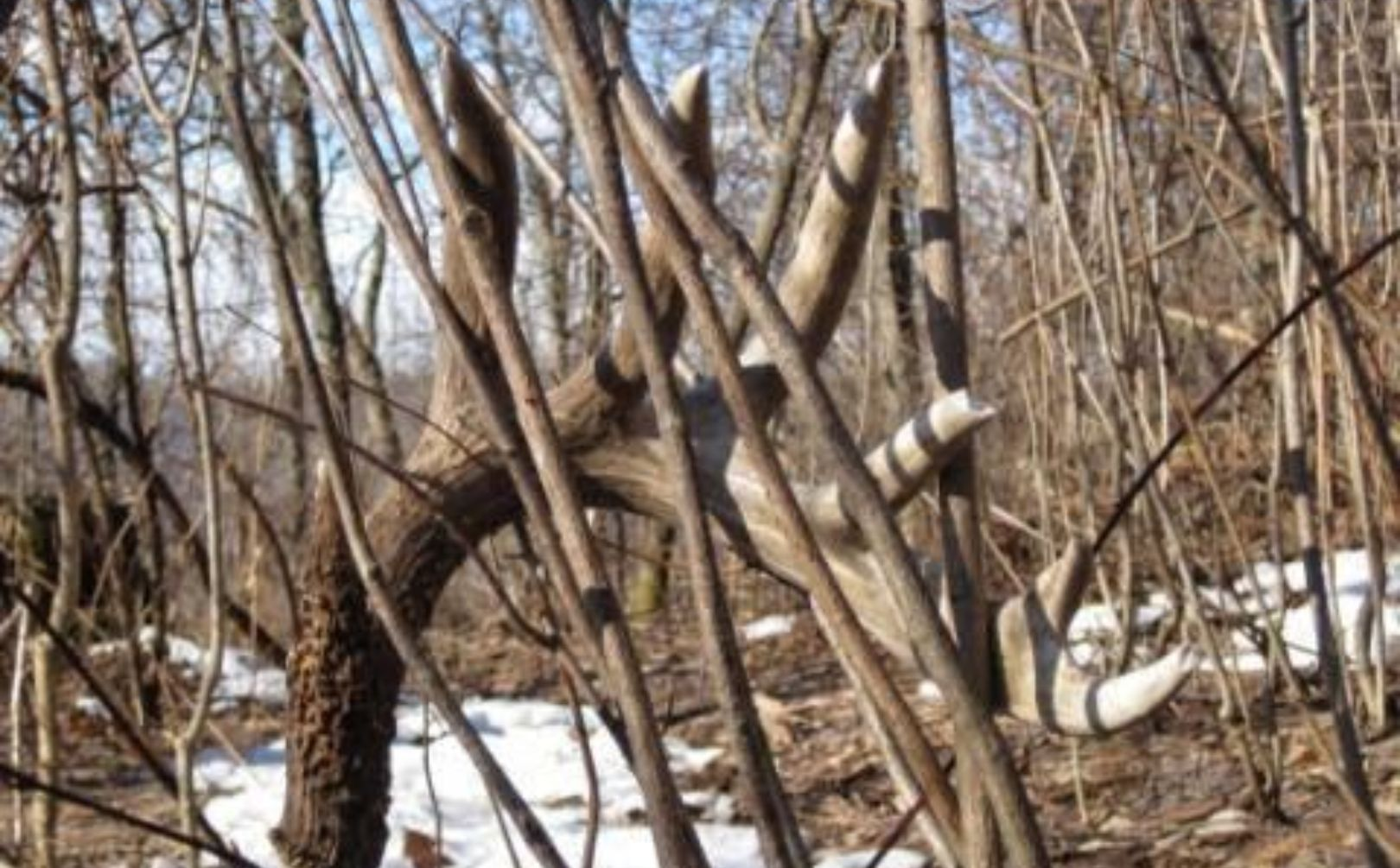 whitetail shed hunting