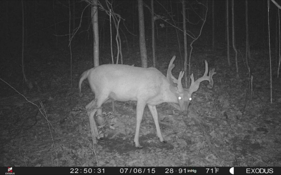 managing whitetail herds