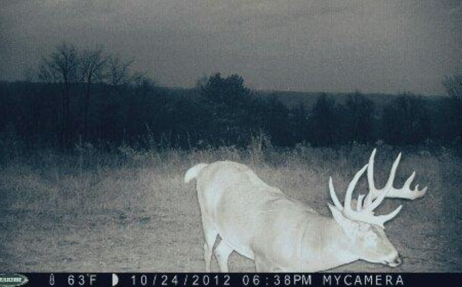 High Percentage Mature Buck Sits
