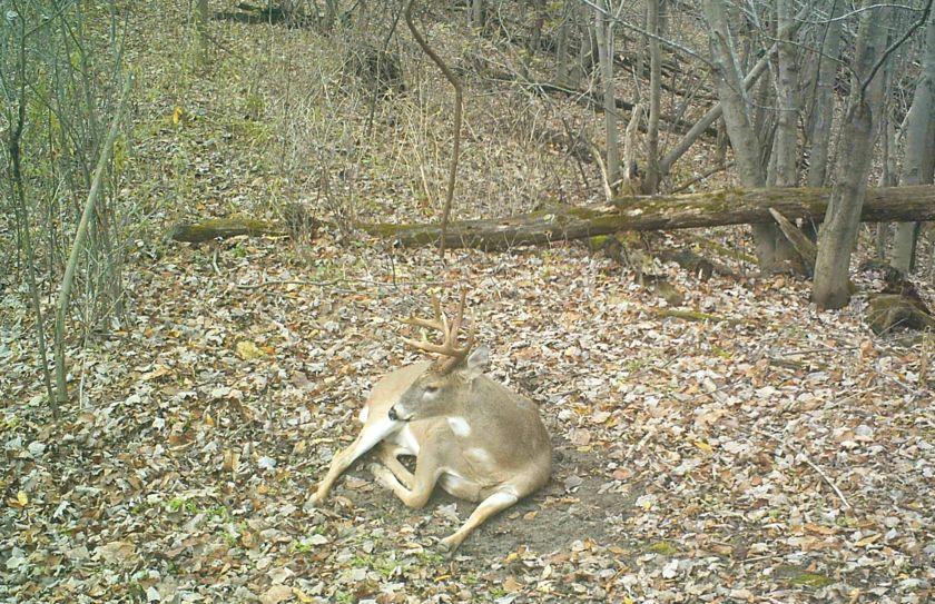 buck bed habitat
