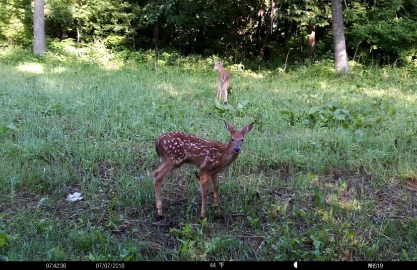 summer trail cam bucks