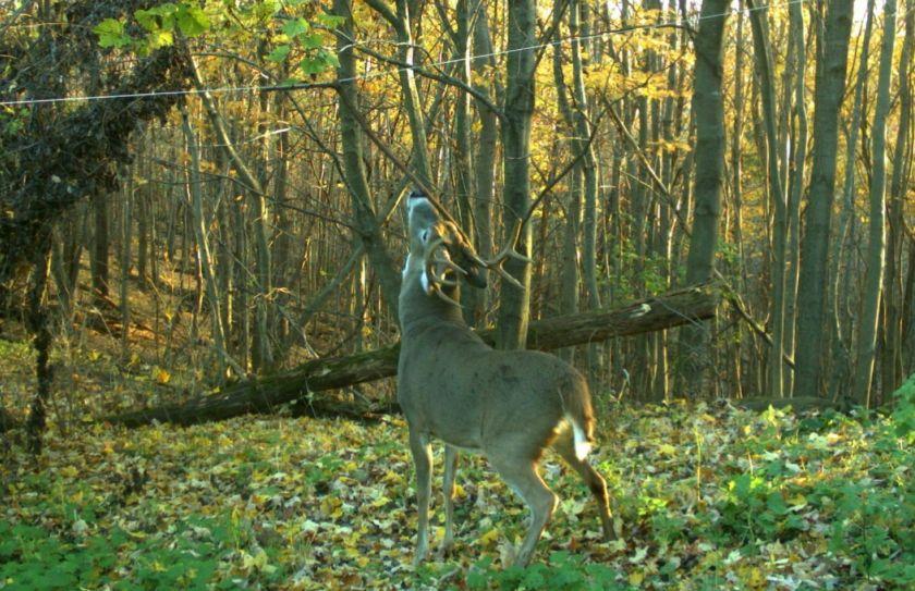 nocturnal deer pic ratio