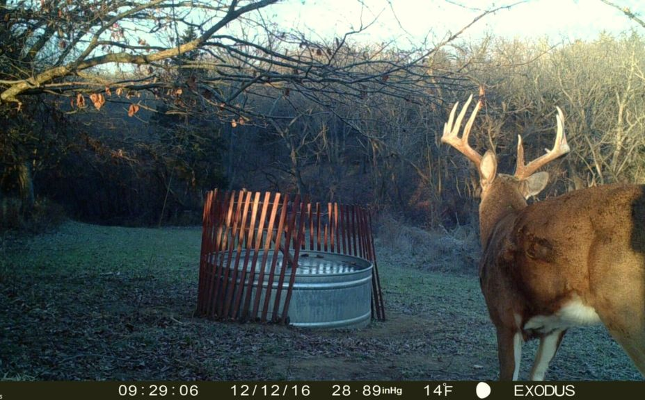 whitetails in the morning